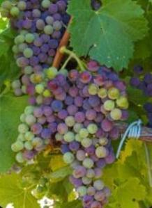ENVERO - Cambio de color uva