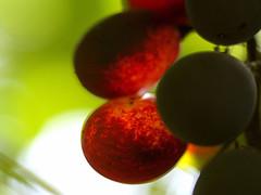 Maduracion grano uva